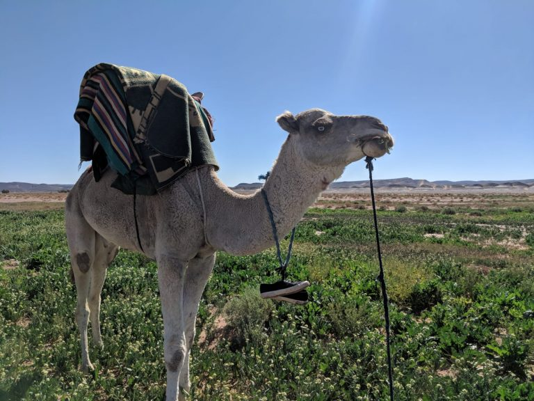 camel in rocket in desert