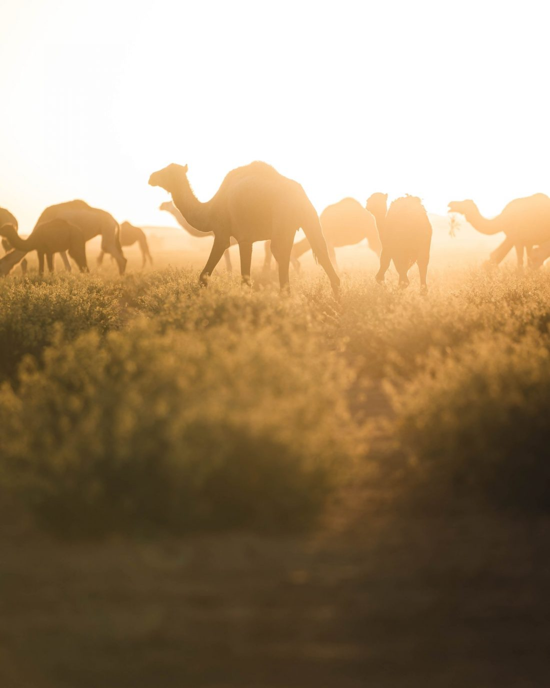 Alpha Male Camels walking with nomads