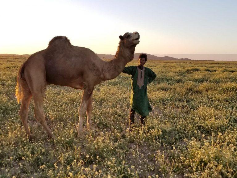 alpha camel male 1