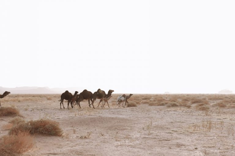 How to experience the real sahara desert | wild camels