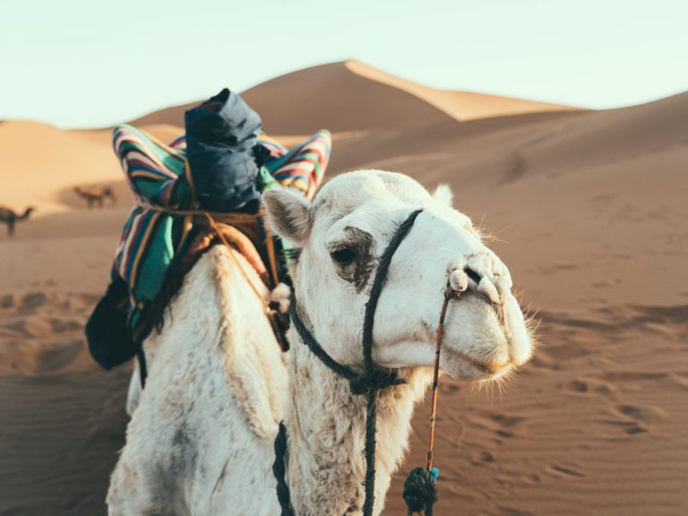 White Camel | Walking with Nomads