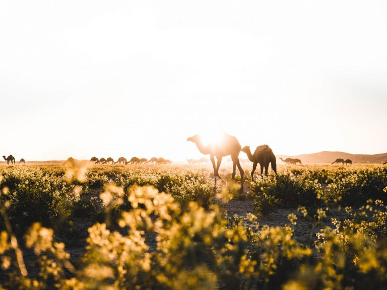 Lush Grazing for Camels