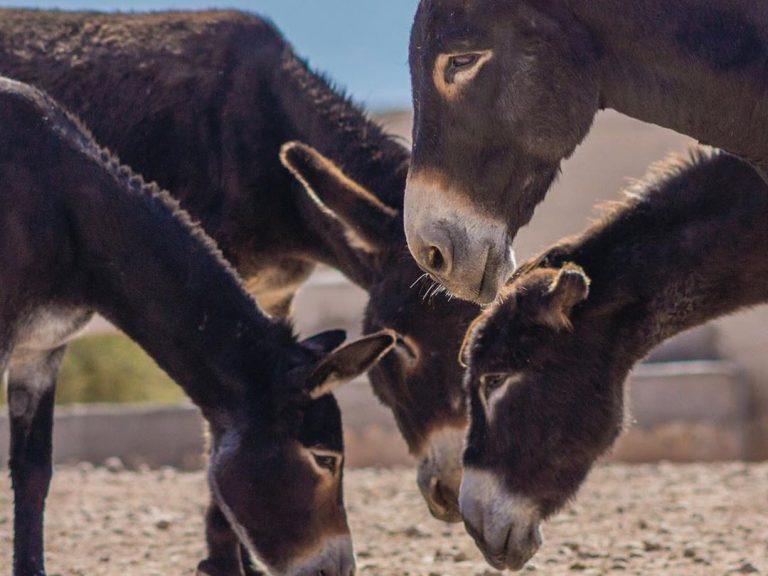Jarjeer Donkeys