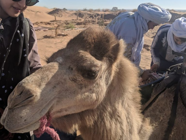 Trekker and camel walking with nomadsl