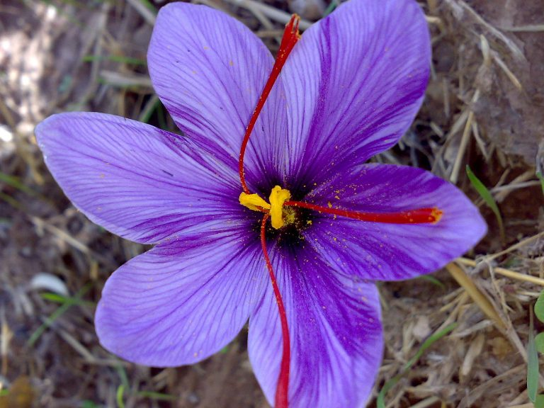saffron unknown